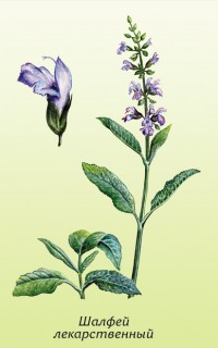 Шалфей лекарственный (Salvia officinalis L.)
